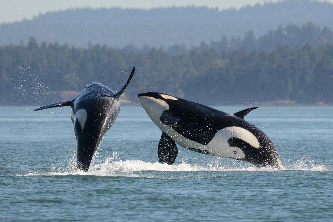 Картинки китов убийц