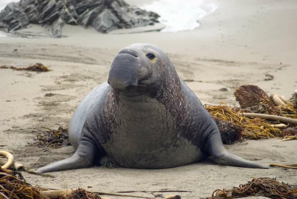 дожидаясь фото морского слона животное участка