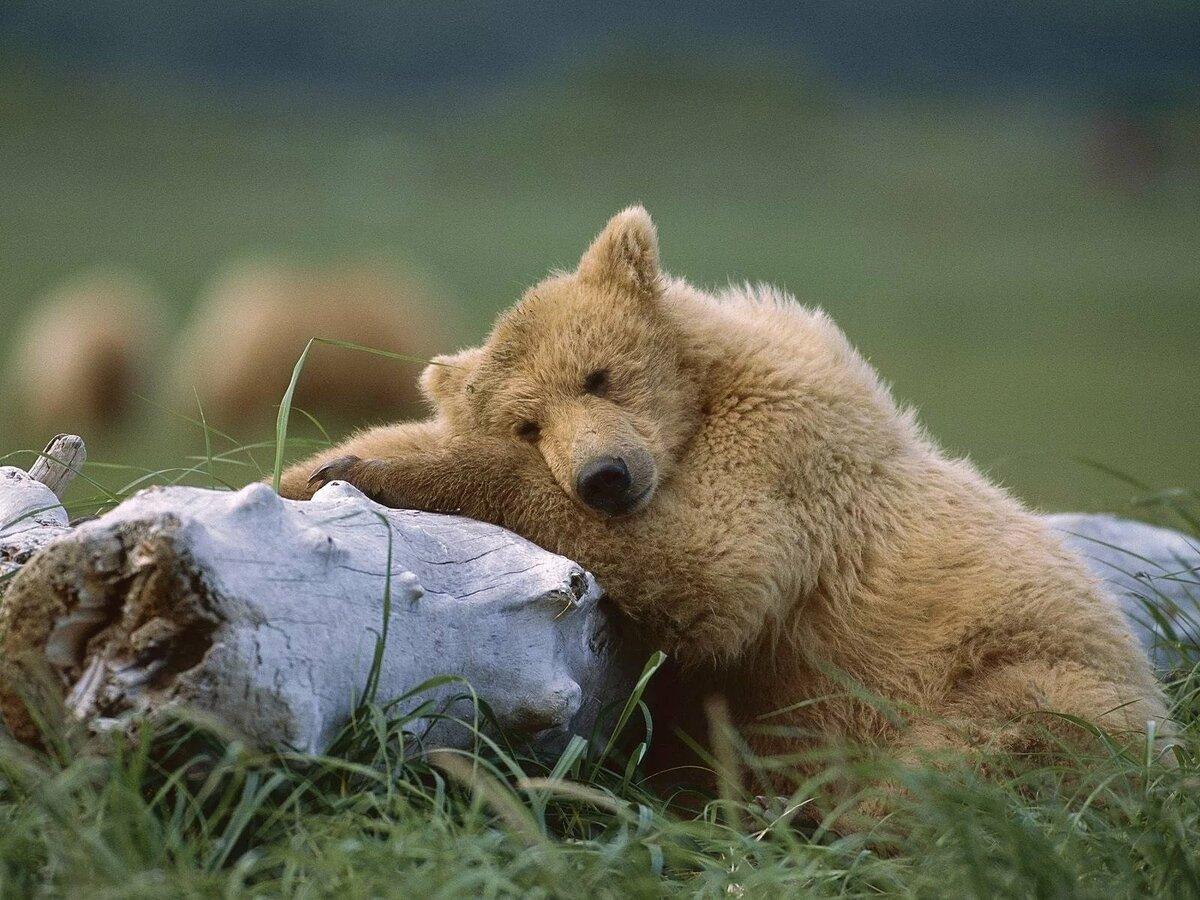 занавески, картинки медвежата в лесу с добрым утром его посоветовали, теперь