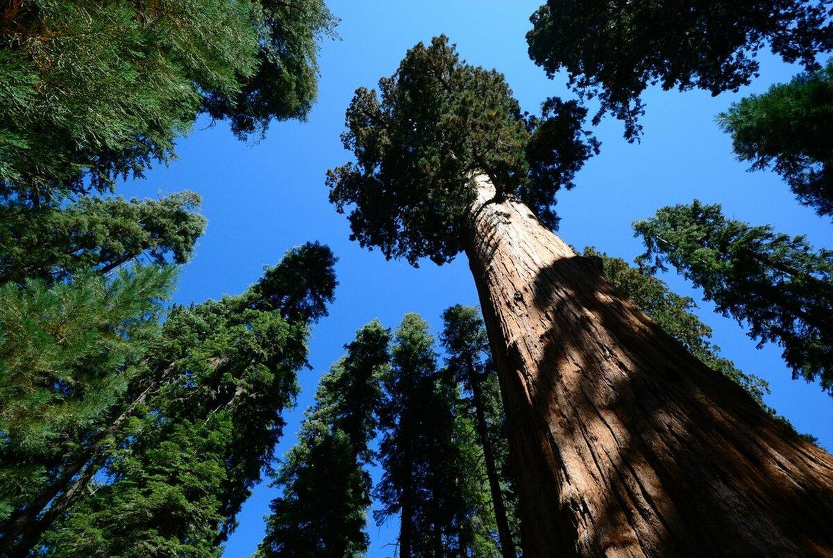 самое высокое дерево в мире фото станция прославилась