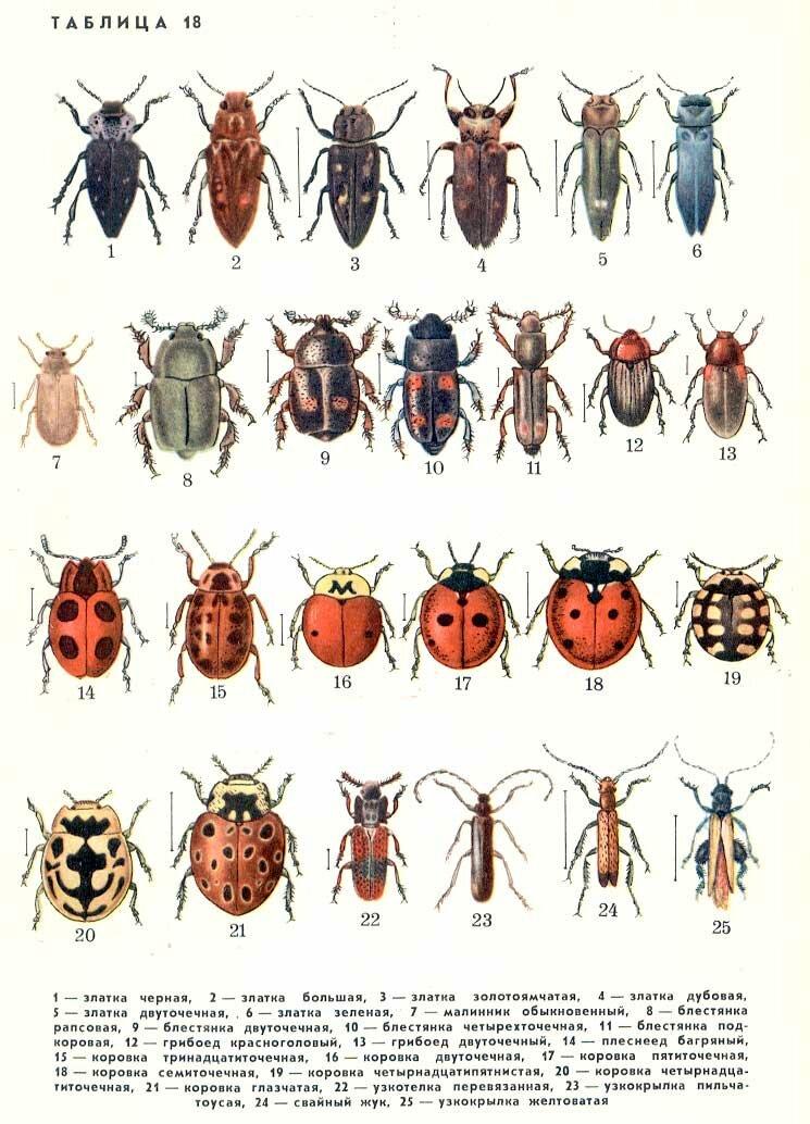 Бесконечной, классификация жуков в картинках