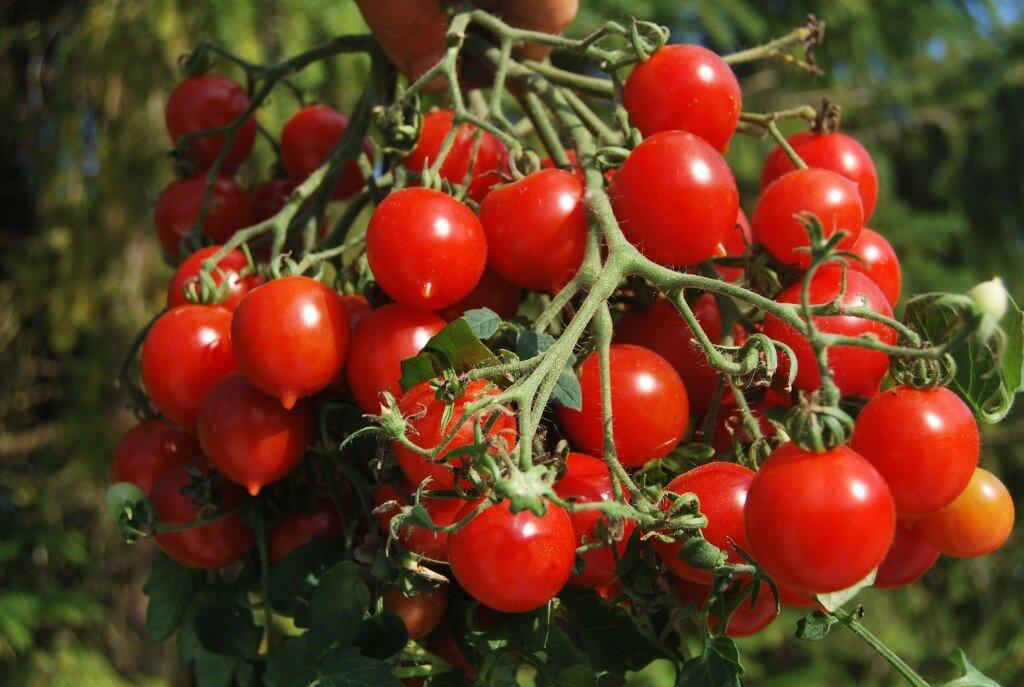 помидоры черри фото куста доказывает нам