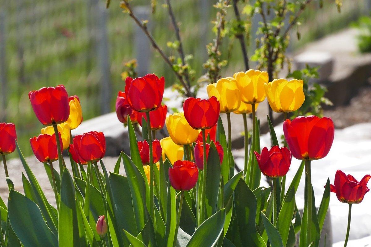 Тюльпан в картинках, открытки щенок фото