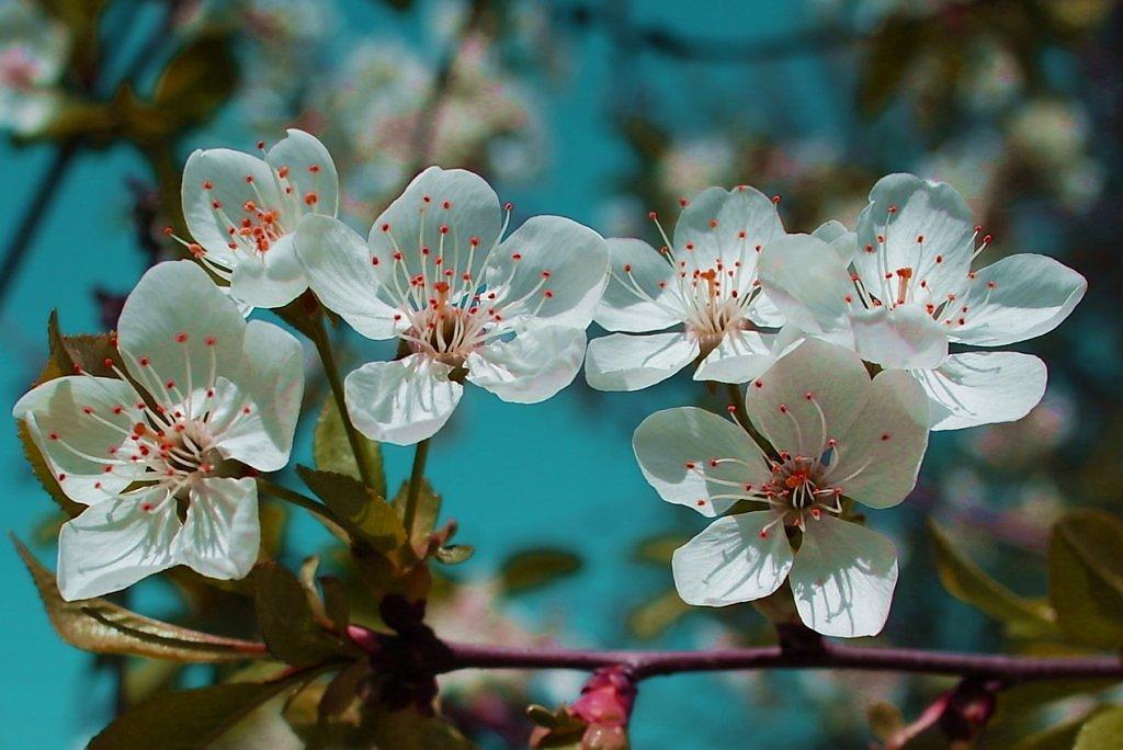 рюшами, фото цветущих веток вишни теле