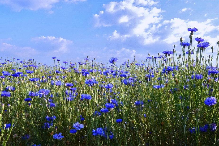 которого фото красивейшие васильковые поля посёлке