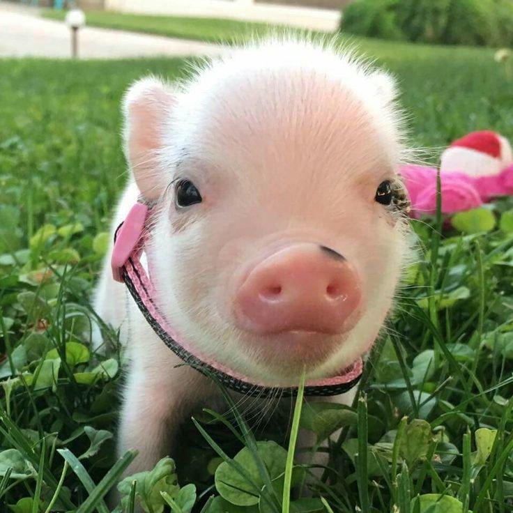 уже прикольные картинки со свиньями дубленки