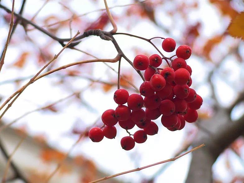 Картинки гроздья красной рябины