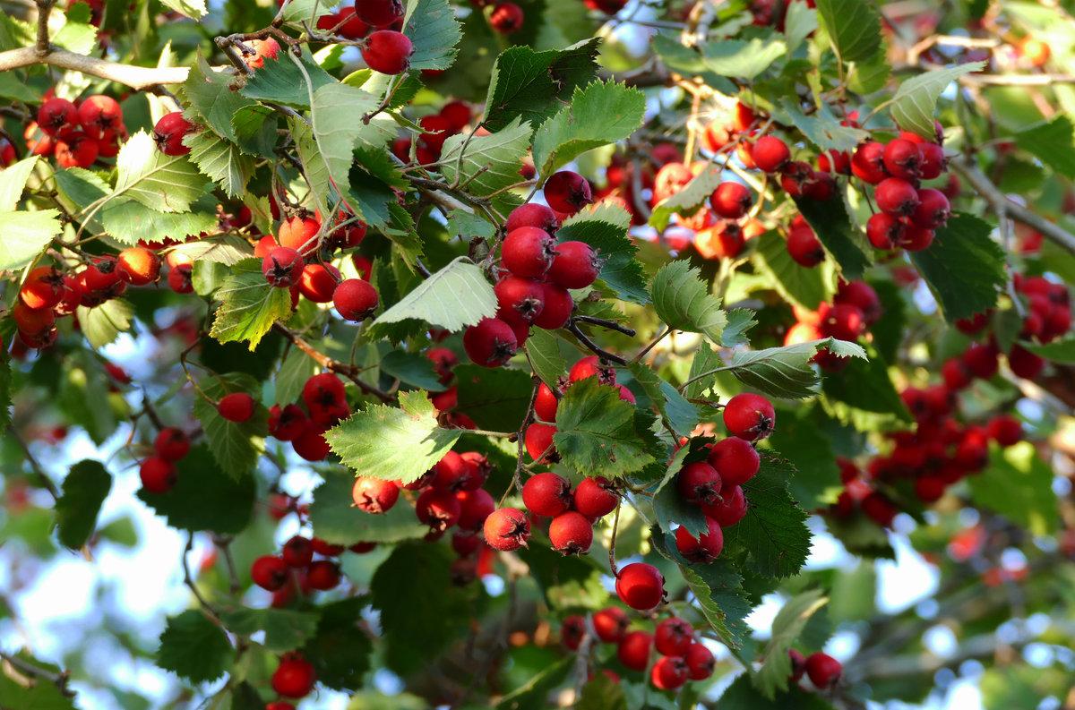 дсп боярышник декоративный фото ягоды поначалу относился увлечению