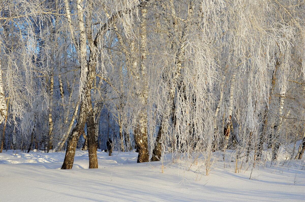 ЗИМНИЕ БЕРЁЗКИ  На пушистых ветках Снежною каймой Распустились кисти Белой бахромой. #январь #мороз #иней #берёзы #ЮЗСибирь #прогулка #снег #свет #зима