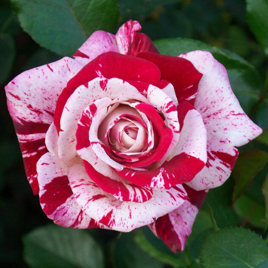 Картинки двухцветные розы