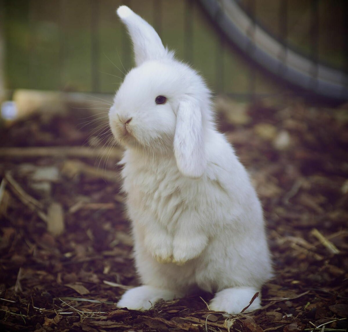 Днем рождения, открытка белые кролики