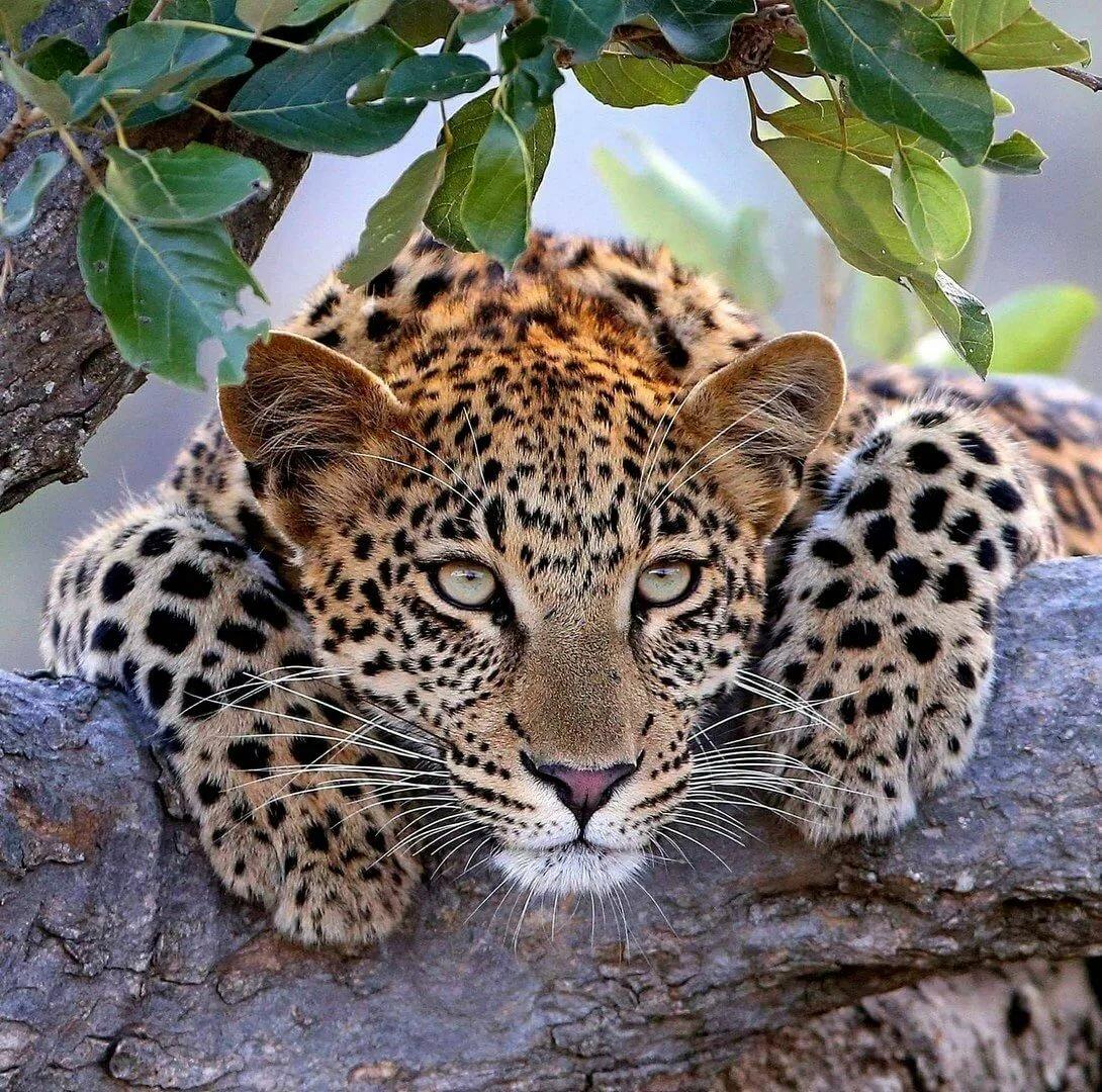 Картинка с леопардом который можно