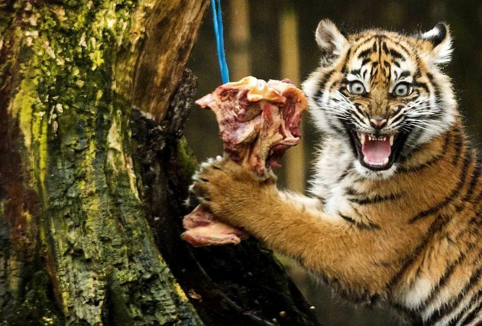 Смешные картинки с тиграми и запашными с надписями, новые смешные