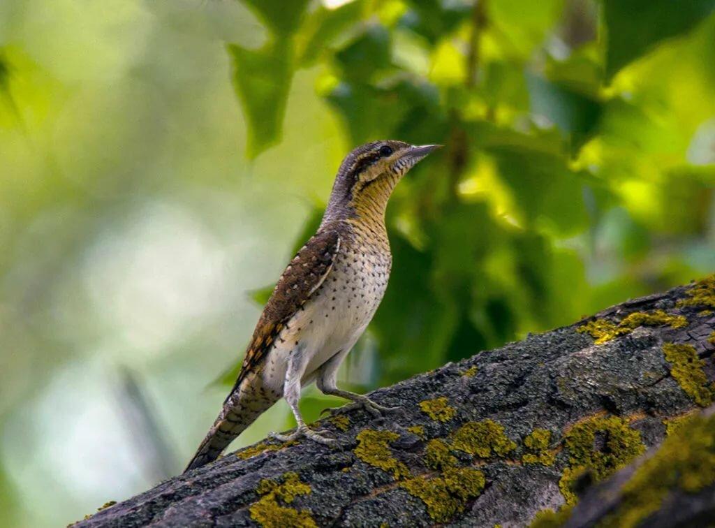 ночные птицы подмосковья фото и описание прибегает жестокости
