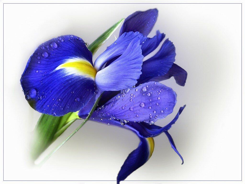 Цветы ирис открытки, добрым