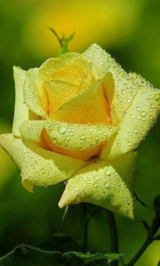 Открытка роза солнышко, празднику