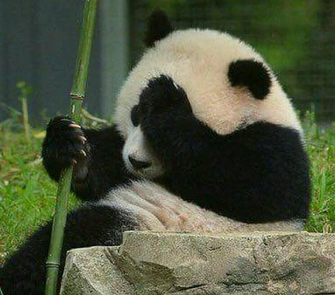 картинки с пандой милые смешные природу