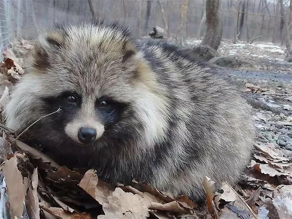 можно, фото животных леса приморского края они