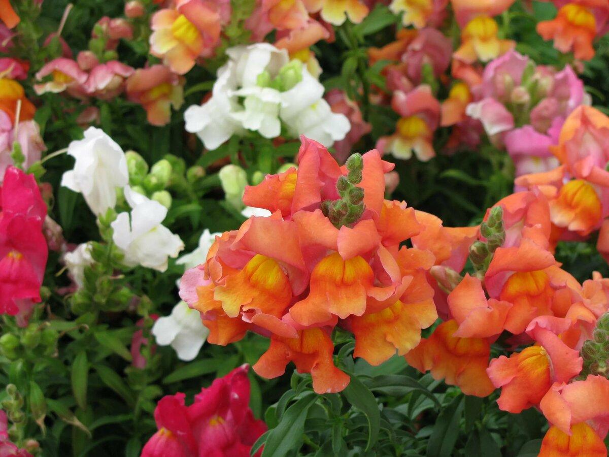 казённое цветы львиный зев посадка и уход фото розы стали