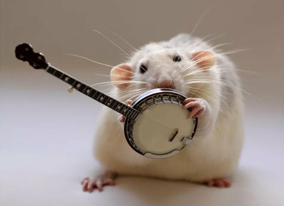 Для кумы, картинки крыса смешные