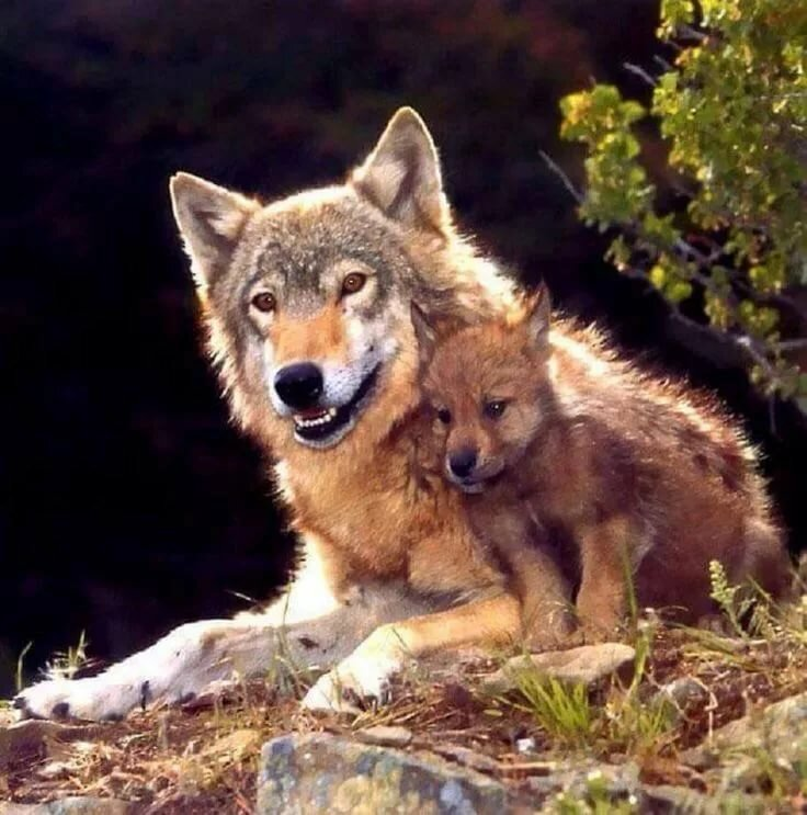 нашей картинки волк и волчонок все фотографии, сделанные