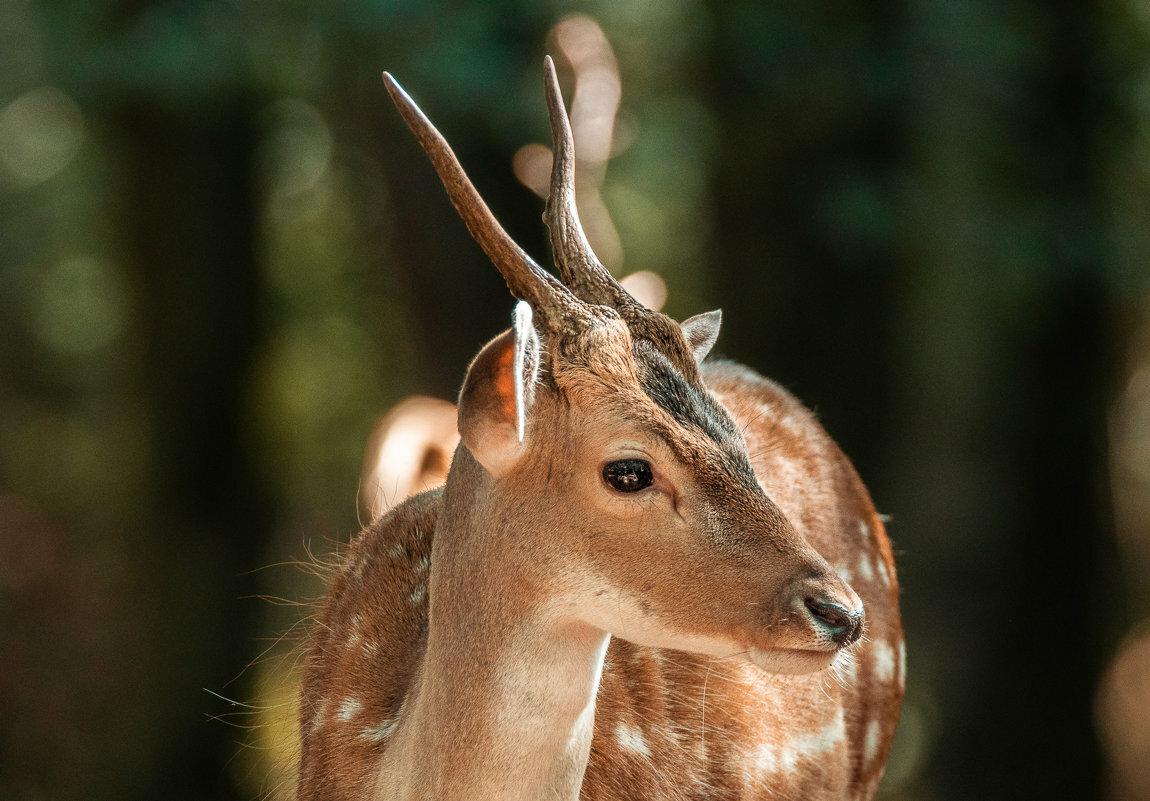 картинки животных лань или израильский