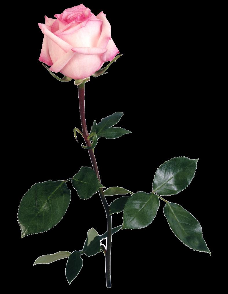 Роза на длинной ножке картинки найдите уютное