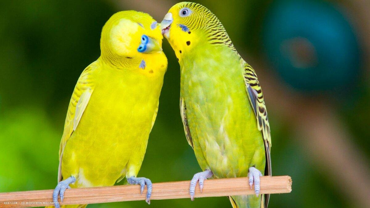 Картинки с попугаями для рабочего стола