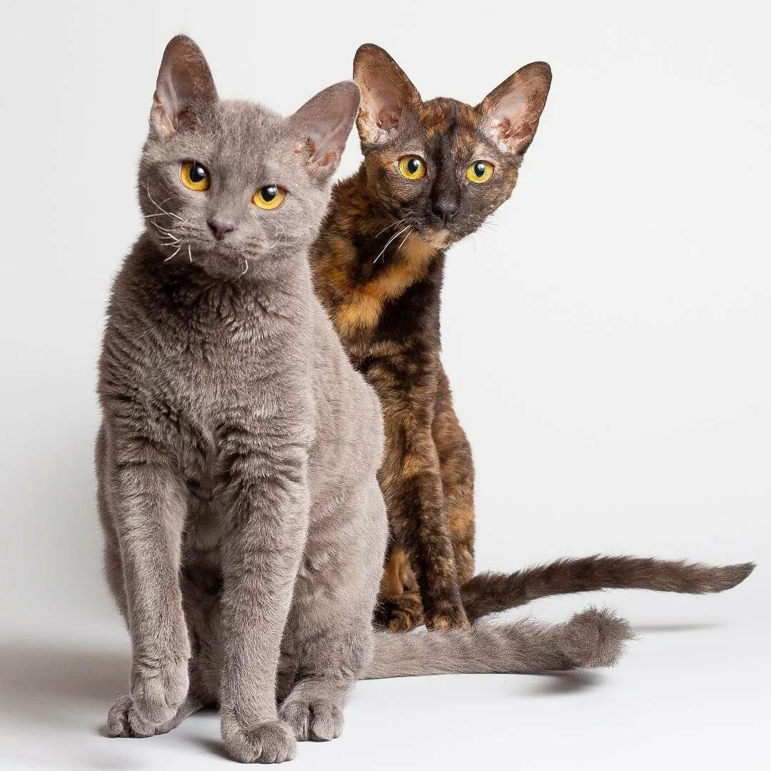 картинки немецких кошек нас
