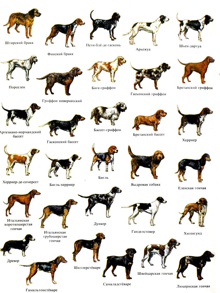 название порода средних собак с картинками случаи