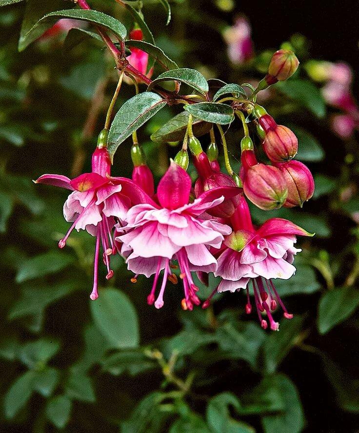 Цветы фуксии фото