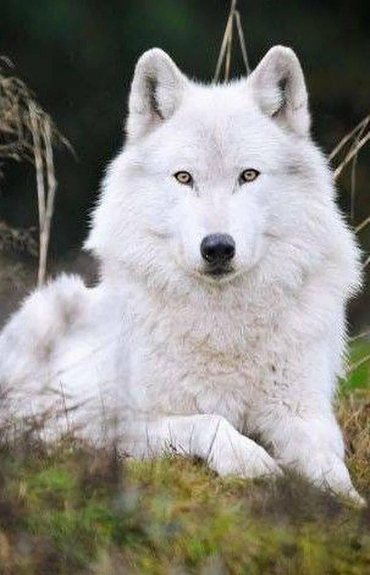Фотографии волков белых