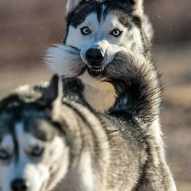 Смешные фотки про собак хаски, нам месяцев днем