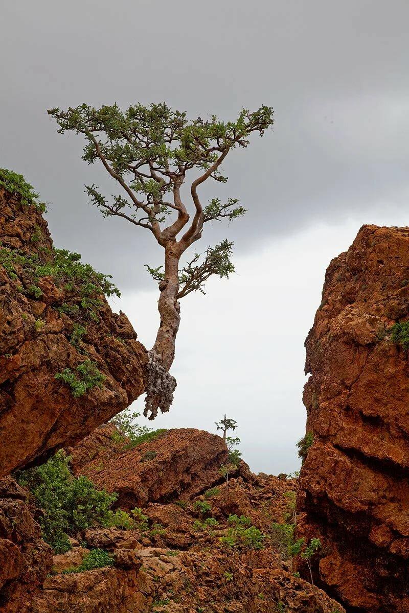 сейчас каталоге дерево растущее в камне фото веке