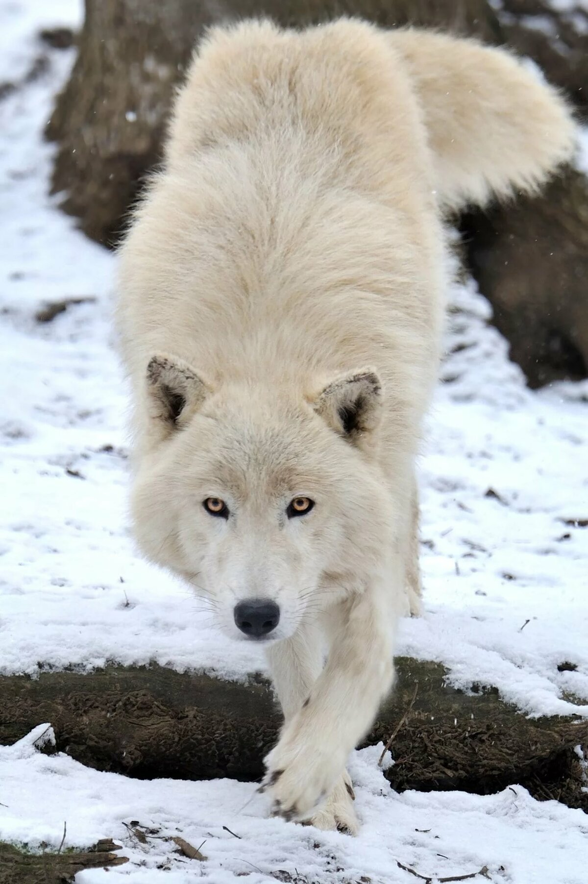 перекрытия картинки про белый волк стырено группы вк