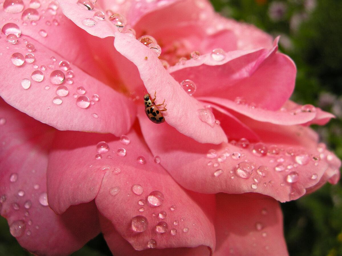 Картинки нежные розы каплях росы