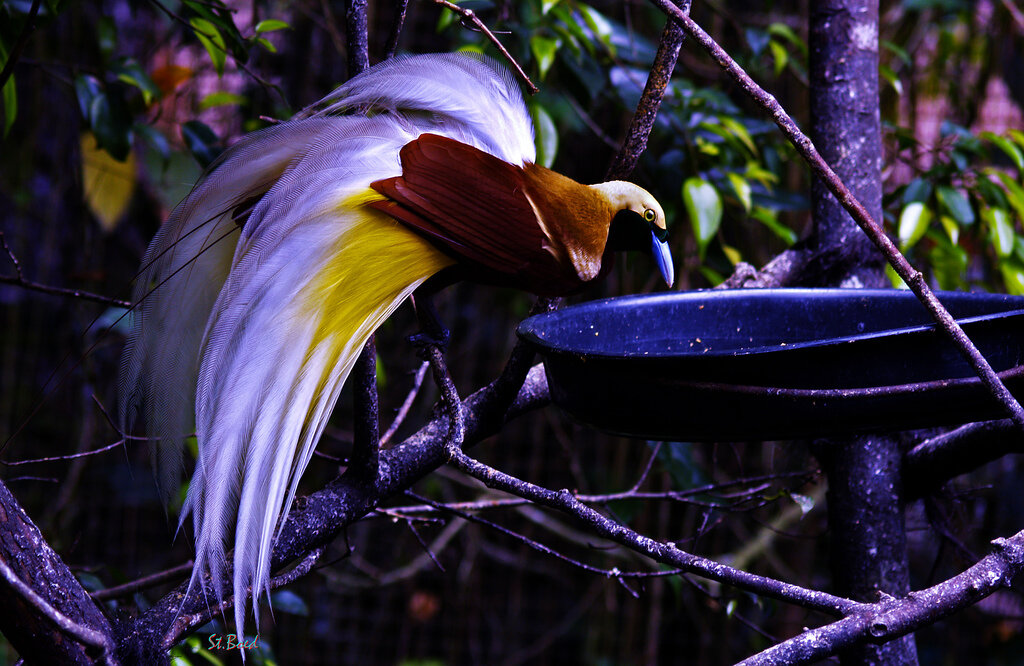 Красивые картинки птиц райских