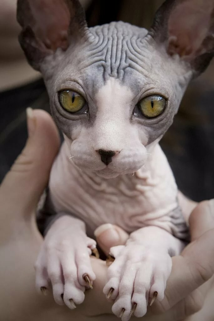 При получении, смешные картинки лысая кошка
