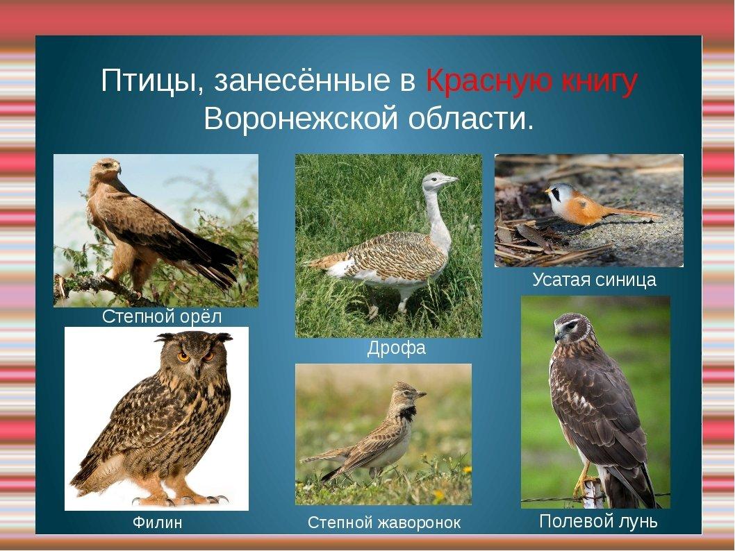 название птиц с картинками и названиями из красной книги