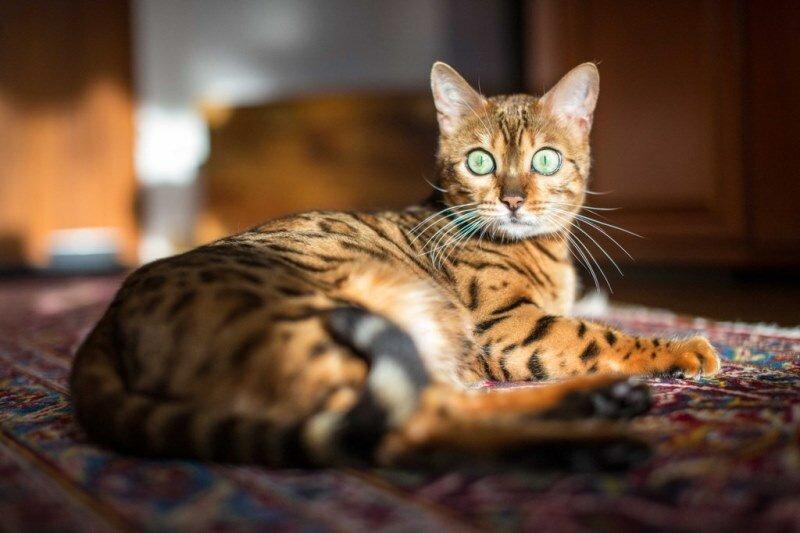 была бенгальские коты характер особенности разные темы