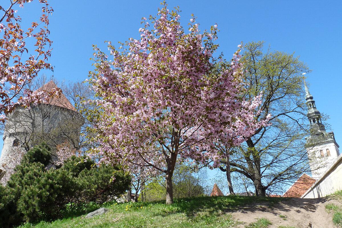 фото весна таллин заячья губа