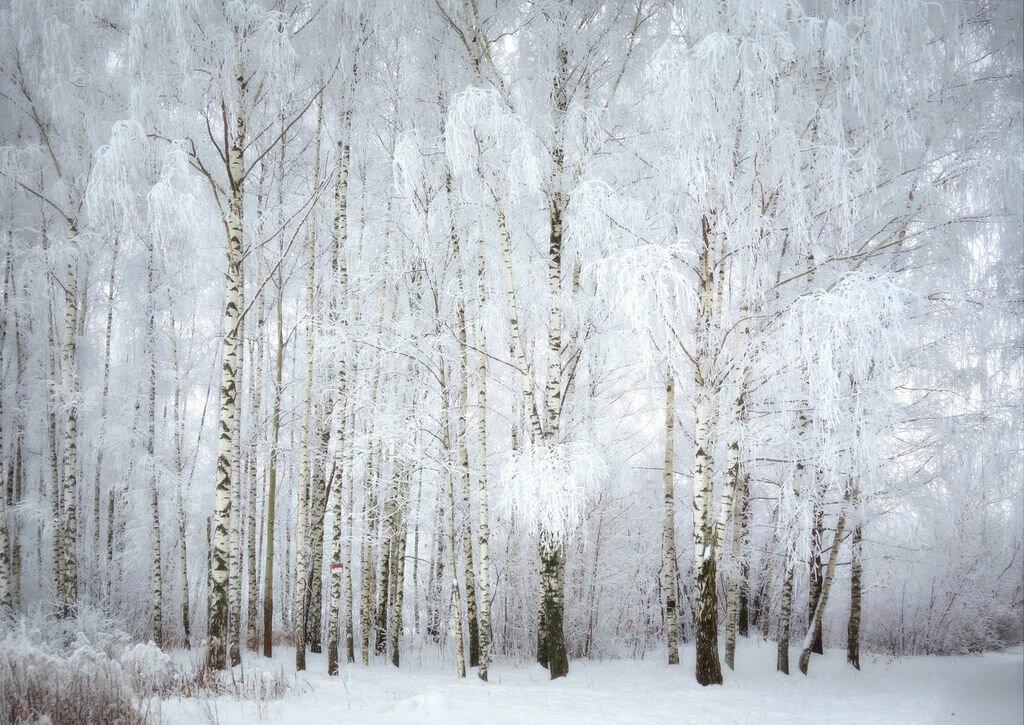 куда приходят, зима картинки березы гласит том, что
