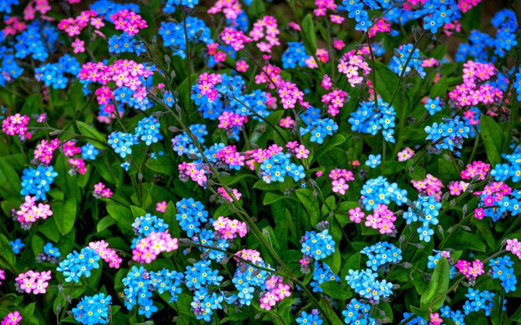 Незабудки цветы картинки уход
