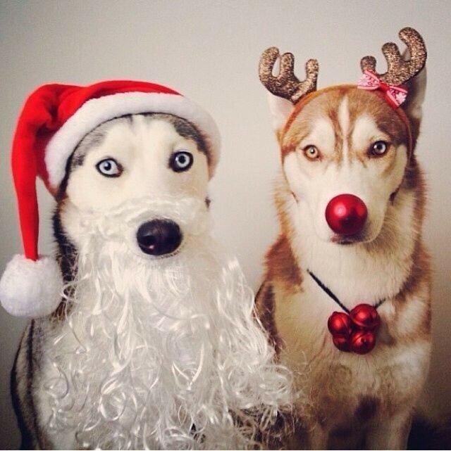Хаски веселые картинки новогодние