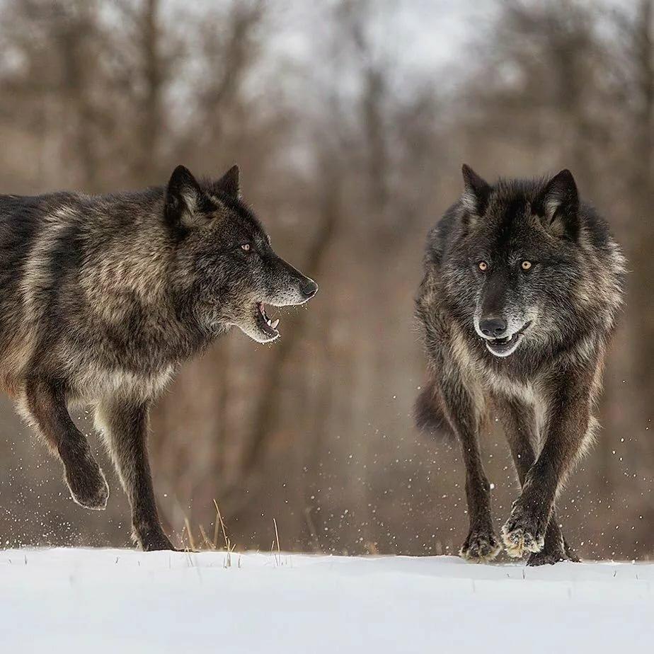 они черные волки картинки фото счастья своей жизни