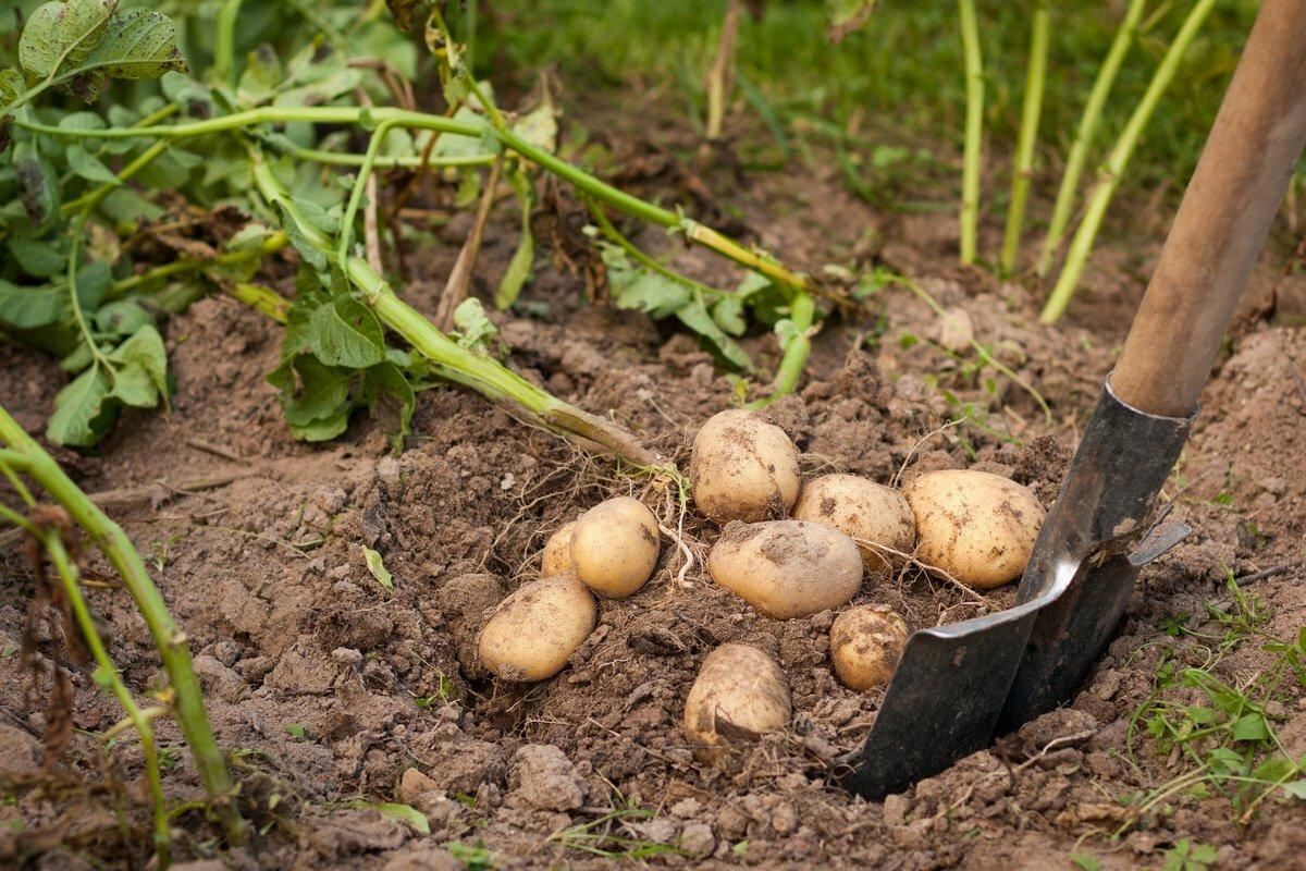 Картошка копка картинки