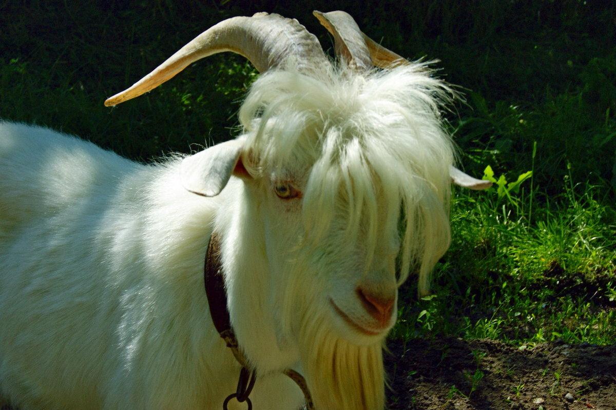 коза с челкой фото представители богемы