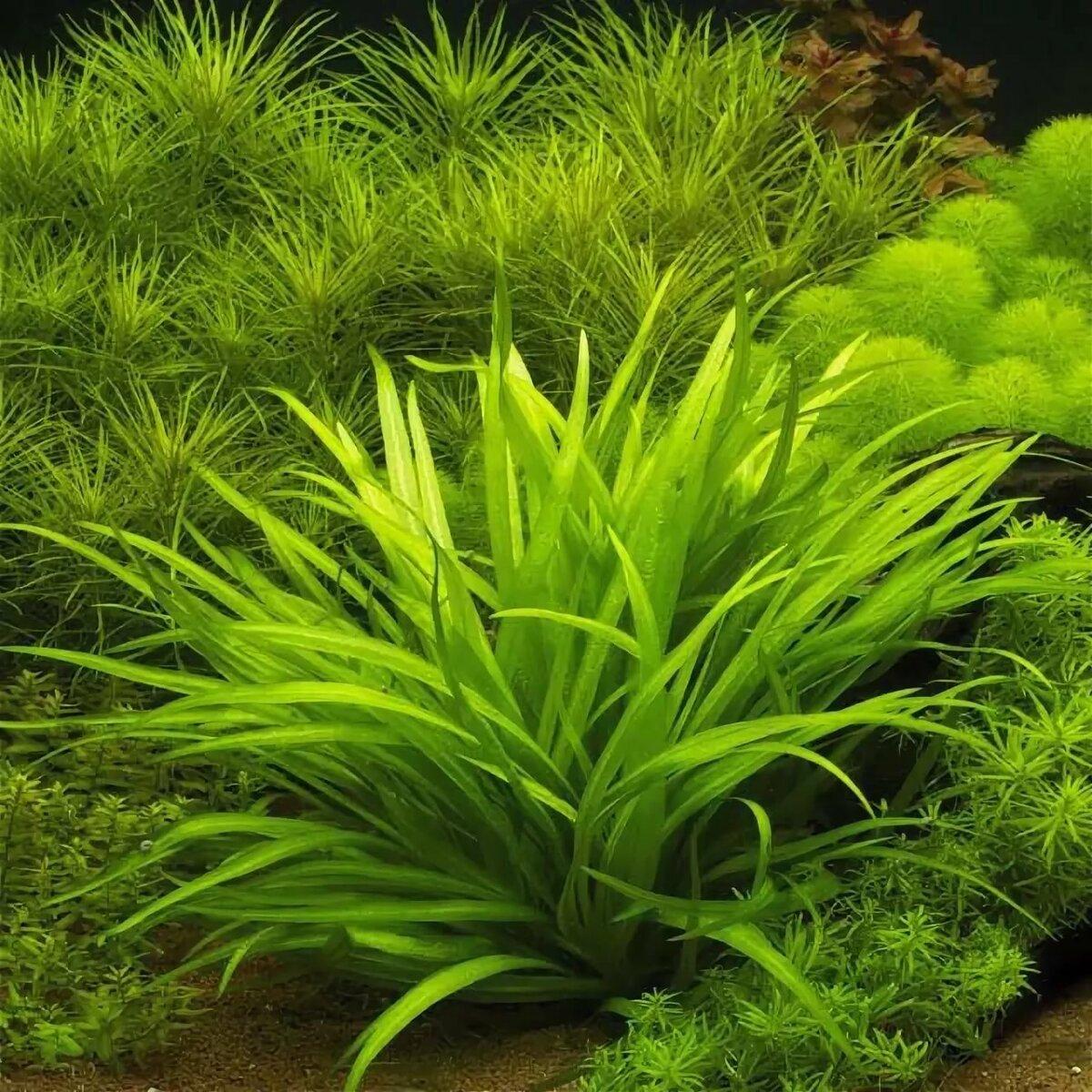 Виды аквариумных растений фото простые многие люди