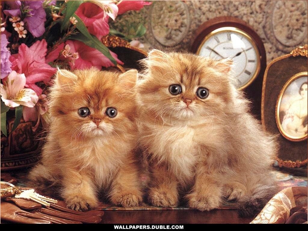 распечатать фотографии котят чэмберс активна