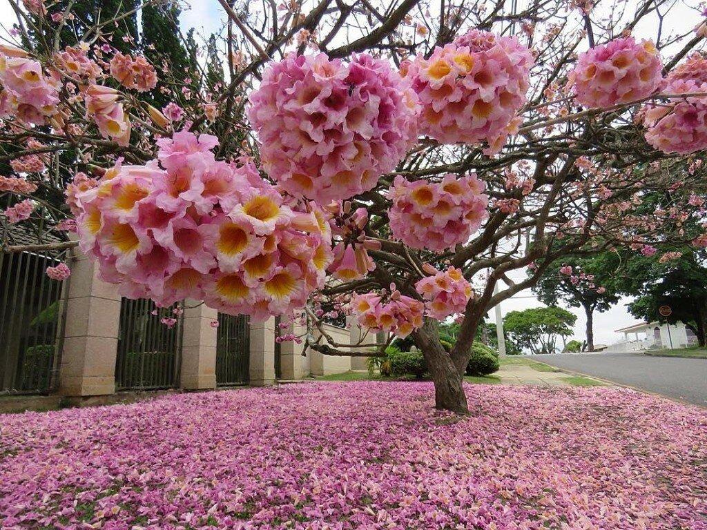 Цветущие деревья мира фото
